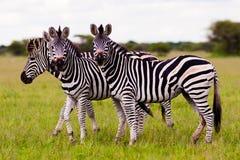 Herd of Zebra. Herd of wild African Zebra looking at the camera Stock Photos