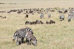 A herd of Zebra a wildebeest Royalty Free Stock Photo