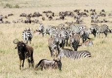 A herd of Zebra and wildebeests Royalty Free Stock Photo