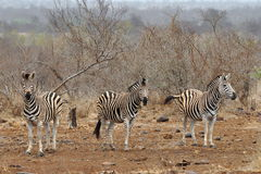Herd of zebras. Photo taken in Letaba part of Kruger national park in South Africa Stock Photo