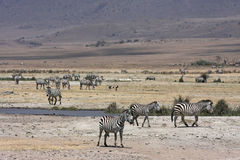 A herd of zebras Royalty Free Stock Photography