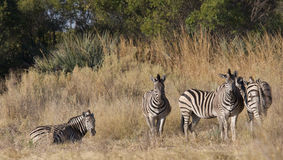 Herd of zebras Stock Image