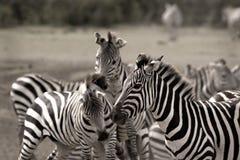 Herd of zebras Stock Photo