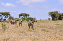 Herd of Zebras in Africa Royalty Free Stock Photos