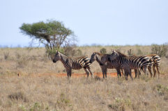 Herd of Zebras in Africa Stock Images