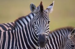 Herd of zebras (African Equids) royalty free stock photography