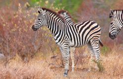 Herd of zebras (African Equids) Royalty Free Stock Photography