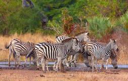 Herd of zebras (African Equids) stock photo