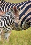 Herd of zebras (African Equids) royalty free stock photo