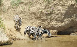 Herd of zebras (African Equids) Royalty Free Stock Images
