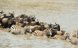 Herd of zebras (African Equids) Stock Images