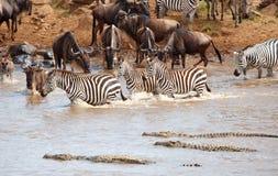 Herd of zebras (African Equids) royalty free stock photos