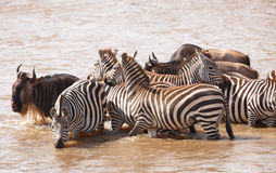 Herd of zebras (African Equids) Royalty Free Stock Image