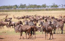 Herd of zebras (African Equids) Stock Photos