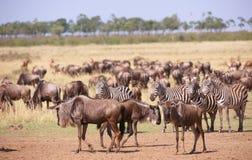 Herd of zebras (African Equids) stock photos