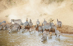 Herd of zebras (African Equids) drinking. From the river in nature reserve in South Africa stock photo