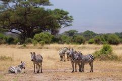 Herd of zebras on african savannah Stock Image