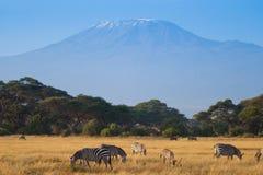 Herd of zebras on african savannah Stock Images