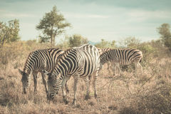 Herd of Zebras in the bush. Wildlife Safari in the Kruger National Park, major travel destination in South Africa. Royalty Free Stock Photo