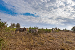 Herd of Zebras in the bush. Wildlife Safari in the Kruger National Park, major travel destination in South Africa. Stock Photography