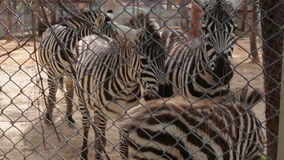 A herd of zebras in a cage on a farm.  stock video footage