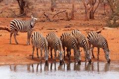 Herd of zebras drinking Stock Image