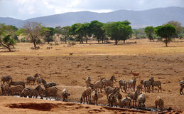 Herd of Zebras drinking at water hole. A big herd of Zebras (Equus Quagga (lat.)) is drinking at a water hole in the Tsavo East National Park in Kenya royalty free stock photo