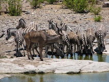 Herd of zebras drinking water Royalty Free Stock Photography