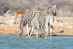 Herd of Zebras drinking from waterhole in the bush. Wildlife Safari in the Etosha National Park, travel destination in Namibia.  Stock Photography