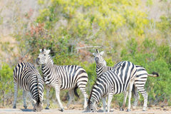 Herd of Zebras drinking from waterhole in the bush. Wildlife Safari in the Kruger National Park, major travel destination in South Stock Image