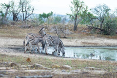 Herd of Zebras drinking from waterhole in the bush. Wildlife Safari in the Kruger National Park, major travel destination in South Stock Photos