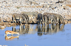 Herd of zebras drinking from a waterhole with good reflection Stock Photography