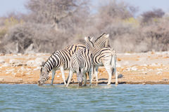 Herd of Zebras drinking from waterhole. Wildlife Safari in the Etosha National Park, majestic travel destination in Namibia, Afric Stock Images