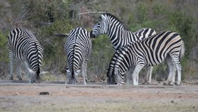 Herd of Zebras drinking from waterhole.