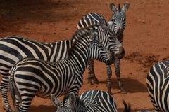 Herd of Zebras in the dust. A herd of Zebras resting in the dust field in Savannah Stock Photo