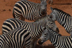 Herd of Zebras in the dust Royalty Free Stock Images