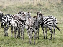 A herd of zebras enjoying the rain Stock Photography