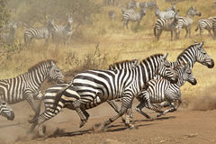 Herd of zebras gallopping Royalty Free Stock Photography
