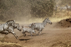 Herd of zebras gallopping Royalty Free Stock Photos