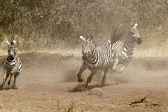 Herd of zebras gallopping Royalty Free Stock Photo
