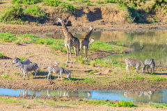 Herd of Zebras, Giraffes and Antelopes grazing on Shingwedzi riverbank in the Kruger National Park, major travel destination in So Stock Photo