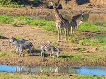 Herd of Zebras, Giraffes and Antelopes grazing on Shingwedzi riverbank in the Kruger National Park, major travel destination in So Stock Images
