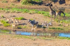 Herd of Zebras, Giraffes and Antelopes grazing on Shingwedzi riverbank in the Kruger National Park, major travel destination in So Royalty Free Stock Photography