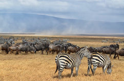 Herd of Zebras and Gnus 3 Royalty Free Stock Photography
