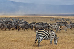 Herd of Zebras and Gnus 2 royalty free stock images