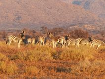 Herd of zebras in grassland Stock Image