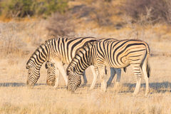 Herd of Zebras grazing in the bush. Glowing warm sunset light. Wildlife Safari in the african national parks and wildlife reserves.  Stock Image