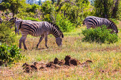 Herd of zebras grazing in the bush. Sunny day in the Kruger National Park, South Africa. Herd of zebras grazing in the bush Royalty Free Stock Images