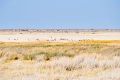 Herd of Zebras grazing in the bush. Wildlife Safari in the Etosha National Park, majestic travel destination in Namibia, Africa. S. Cenic expansive desert Stock Photos