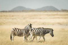 Herd of Zebras grazing in the bush. Wildlife Safari in the Etosha National Park, top travel destination in Namibia, Africa. Toned. Desaturated image, vintage Royalty Free Stock Photo